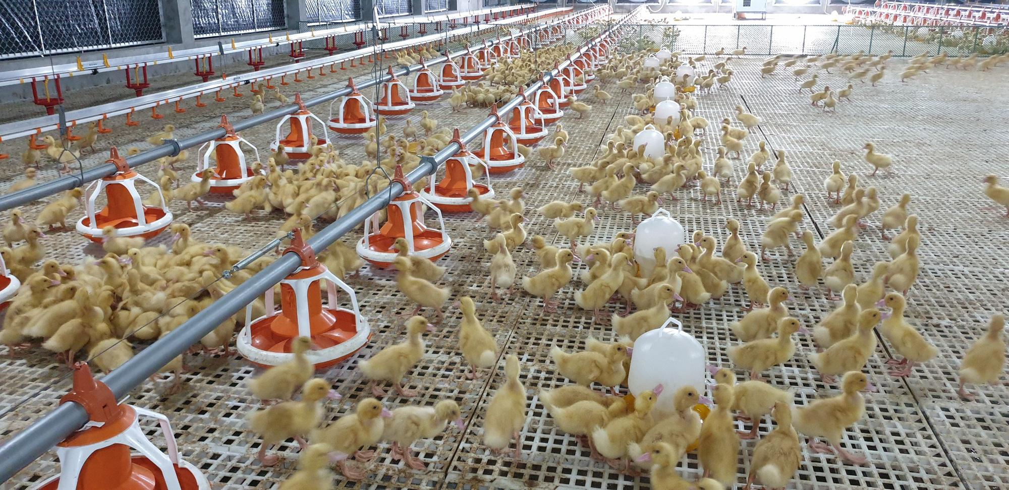 Cần nâng cao vị thế ngành gia cầm Việt Nam, hướng tới xuất khẩu - Ảnh 3.