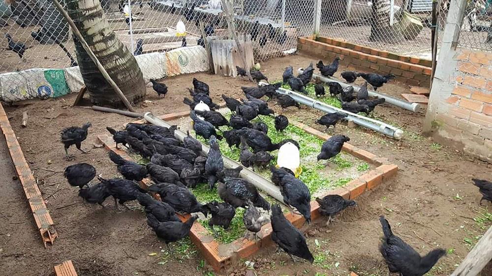 """Mang thứ gà lạ """"đen như cục than"""" từ nước ngoài về nuôi, trai Cần Thơ quyết làm giàu - Ảnh 2."""
