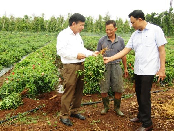 Hỗ trợ nông dân trồng sâm Bố Chính  - Ảnh 1.