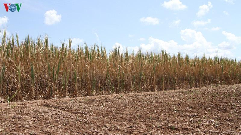 Thương lái vắng bóng 150 ha mía có nguy cơ chết khô - Ảnh 2.
