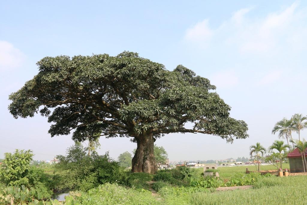 """""""Cụ"""" cây sống qua 10 thế kỷ ở làng Bình Đà có gì đặc biệt? - Ảnh 1."""