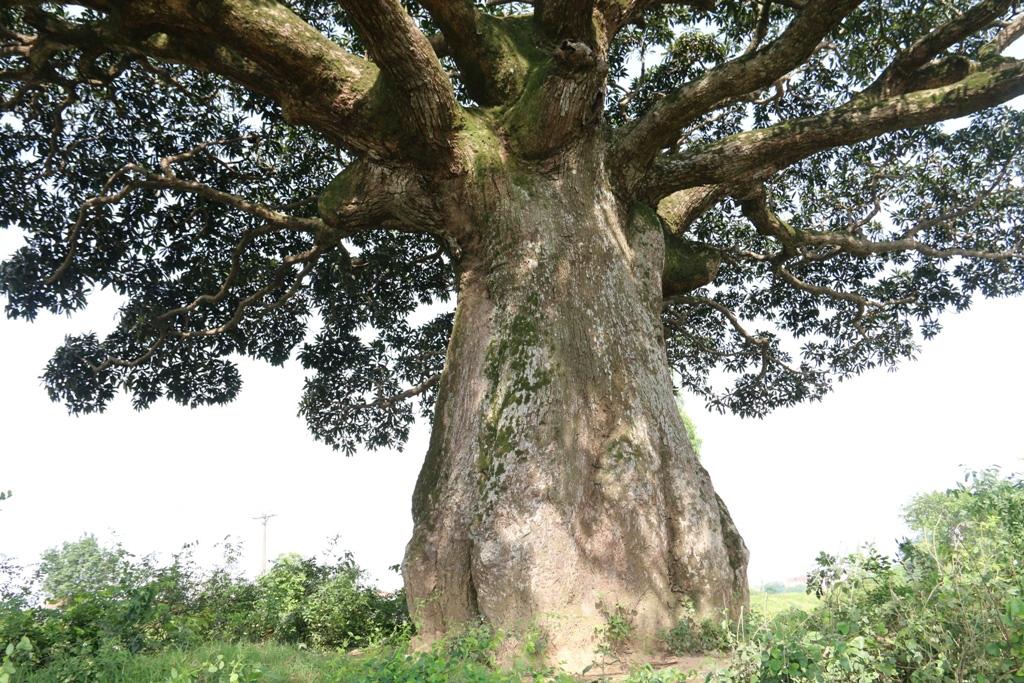 """""""Cụ"""" cây sống qua 10 thế kỷ ở làng Bình Đà có gì đặc biệt? - Ảnh 3."""