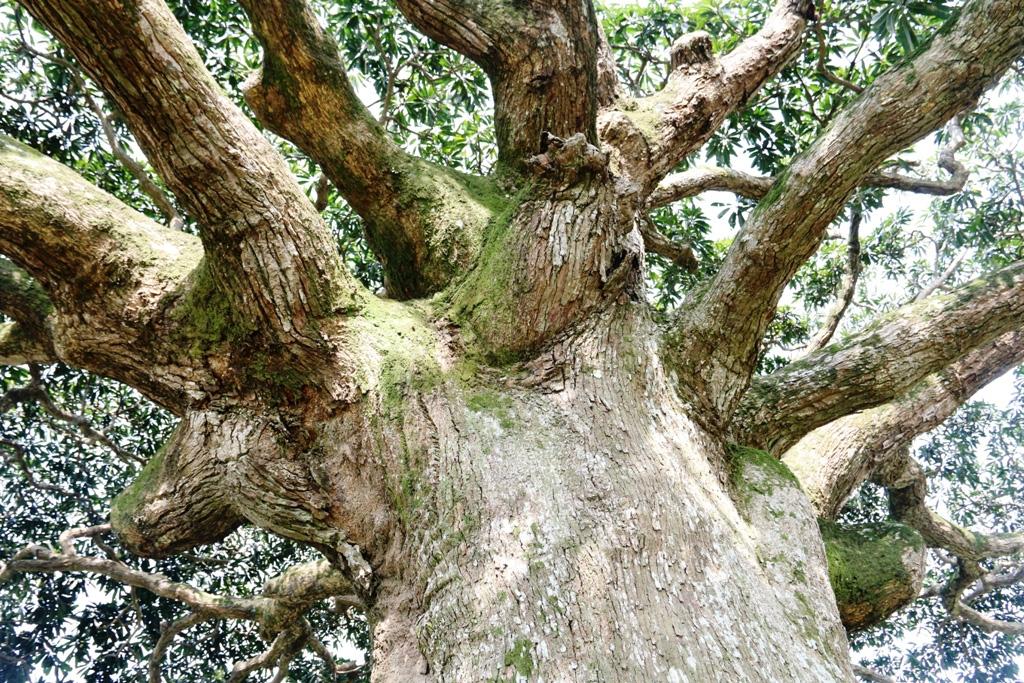 """""""Cụ"""" cây sống qua 10 thế kỷ ở làng Bình Đà có gì đặc biệt? - Ảnh 4."""