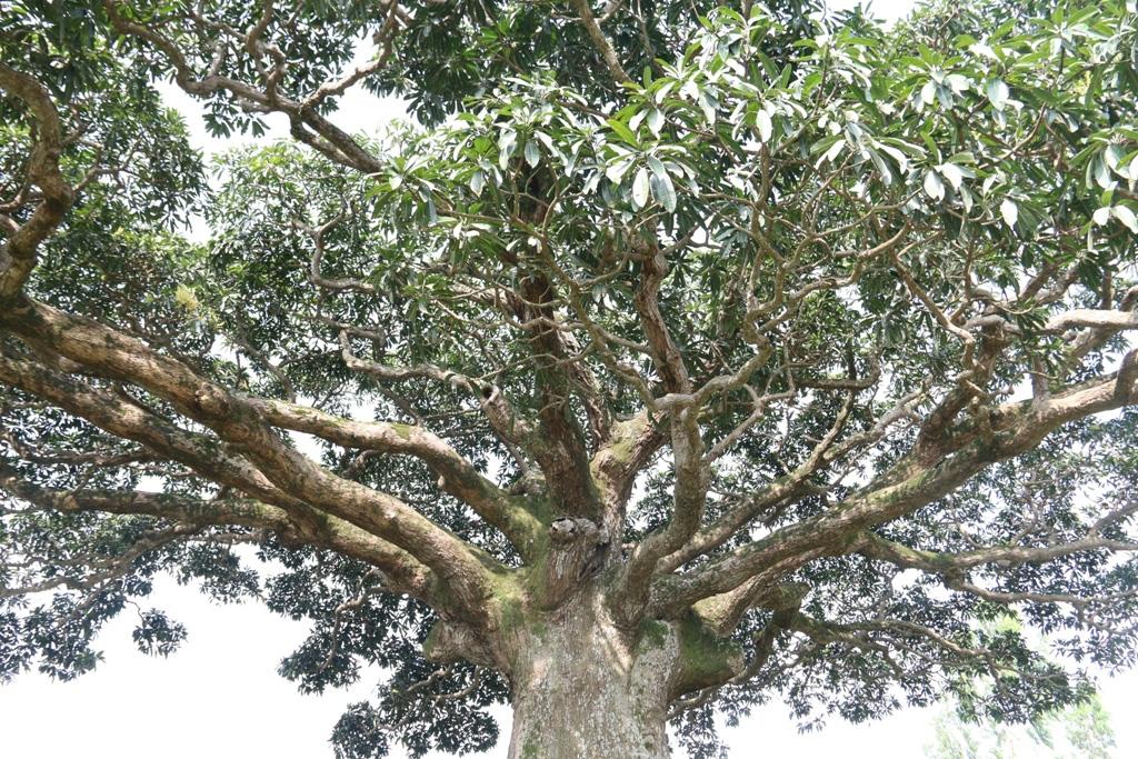 """""""Cụ"""" cây sống qua 10 thế kỷ ở làng Bình Đà có gì đặc biệt? - Ảnh 5."""