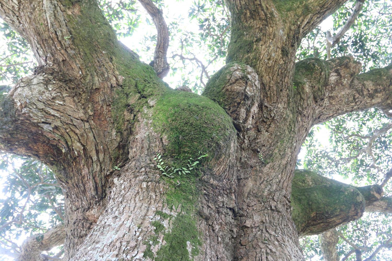 """""""Cụ"""" cây sống qua 10 thế kỷ ở làng Bình Đà có gì đặc biệt? - Ảnh 6."""