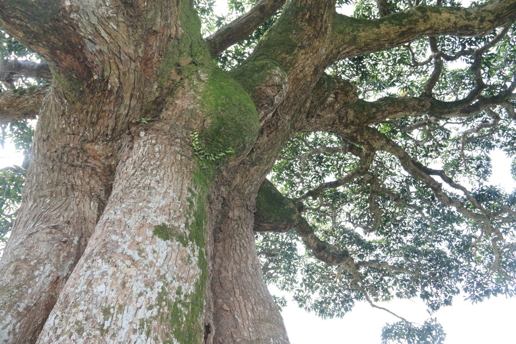 """""""Cụ"""" cây sống qua 10 thế kỷ ở làng Bình Đà có gì đặc biệt? - Ảnh 8."""