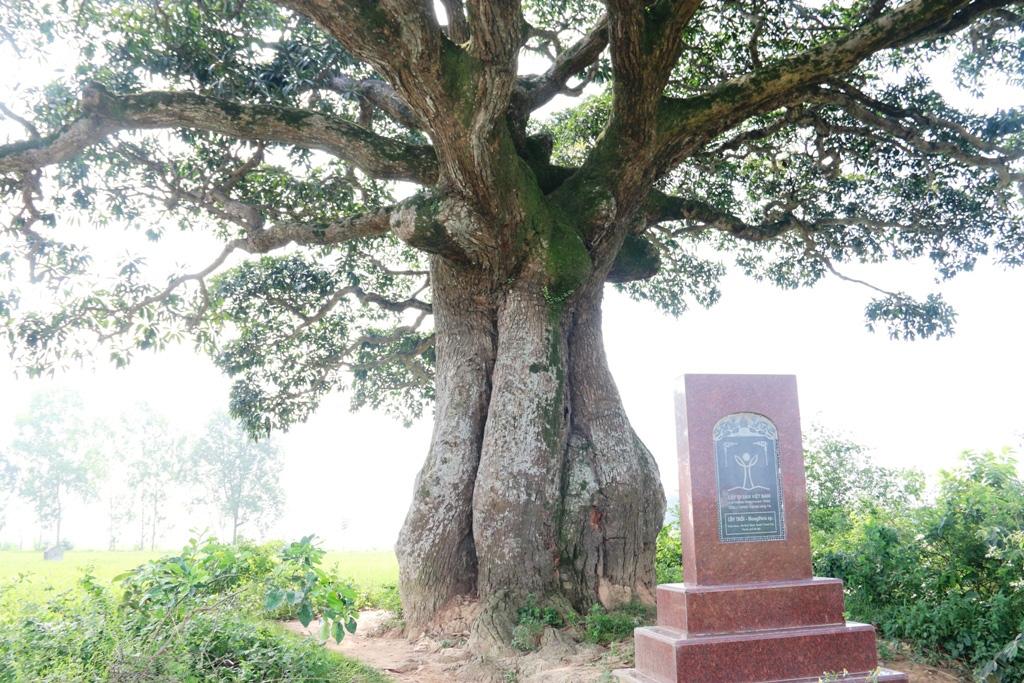 """""""Cụ"""" cây sống qua 10 thế kỷ ở làng Bình Đà có gì đặc biệt? - Ảnh 9."""
