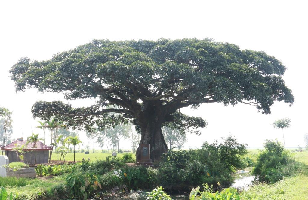 """""""Cụ"""" cây sống qua 10 thế kỷ ở làng Bình Đà có gì đặc biệt? - Ảnh 10."""
