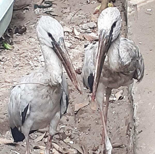 Nghệ An: Phát hiện cặp chim lạ, nghi nằm trong Sách đỏ - Ảnh 1.