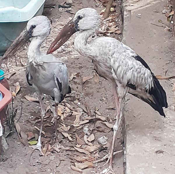 Nghệ An: Phát hiện cặp chim lạ, nghi nằm trong Sách đỏ - Ảnh 2.
