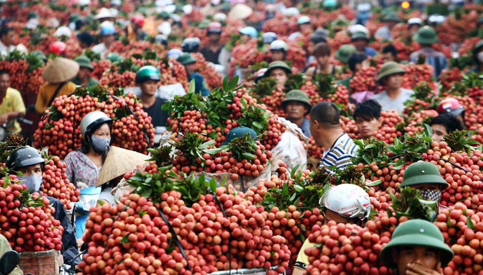 Sắp xúc tiến tiêu thụ quốc tế trái vải Bắc Giang, 300 thương lái Trung Quốc đăng kí vào mua - Ảnh 1.