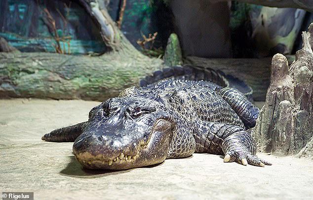 Cá sấu cưng của Hitler chết tại Vườn thú Nga - Ảnh 1.