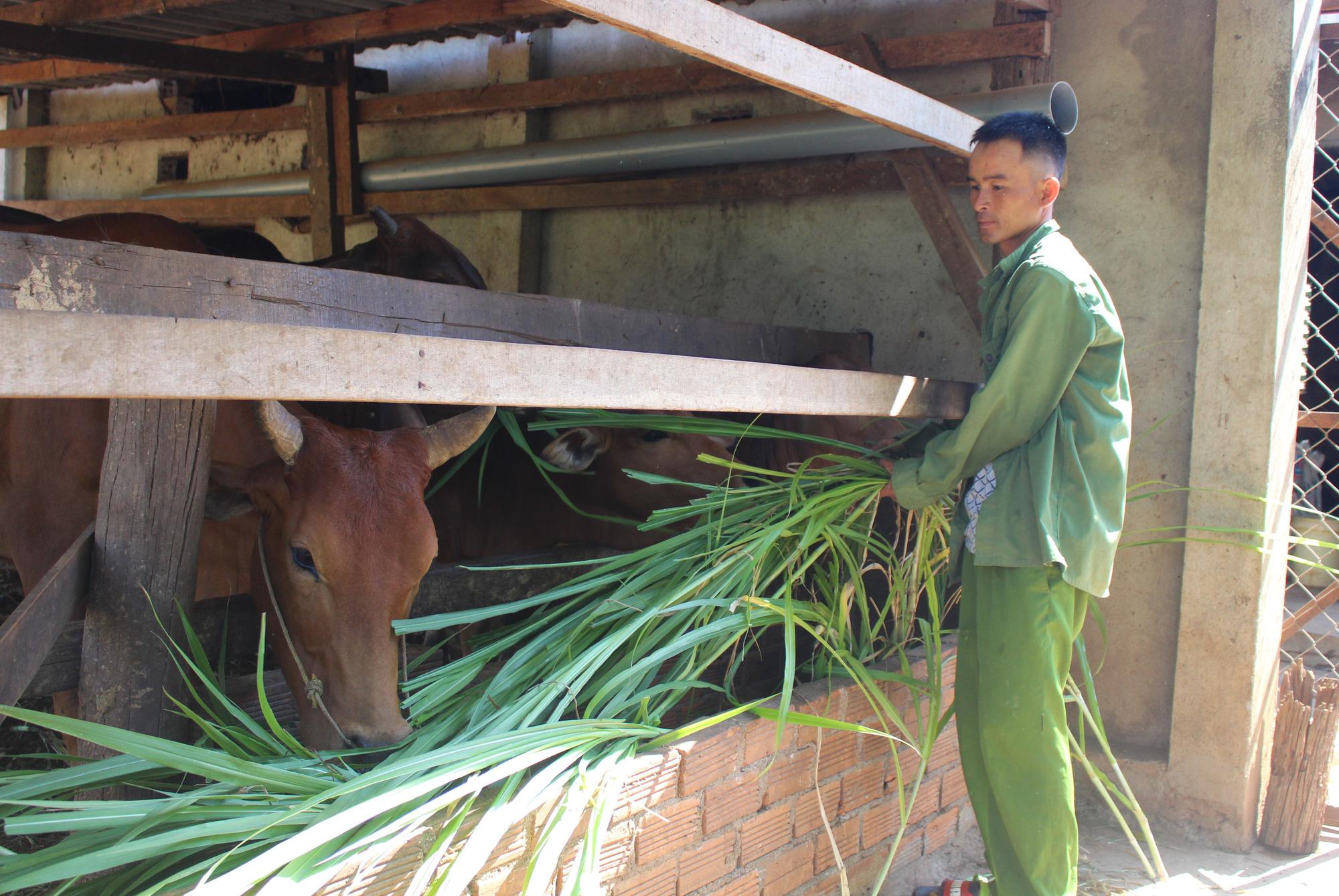 Bí quyết để đàn bò khỏe mạnh giữa mùa hạn - Ảnh 1.