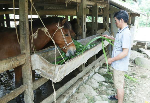 Nuôi ngựa - hướng đi mới của ngành chăn nuôi Bát Xát - Ảnh 2.
