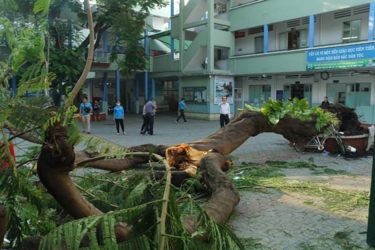 Nhập nhằng việc quản lý cây xanh trong trường học, công sở - Ảnh 2.