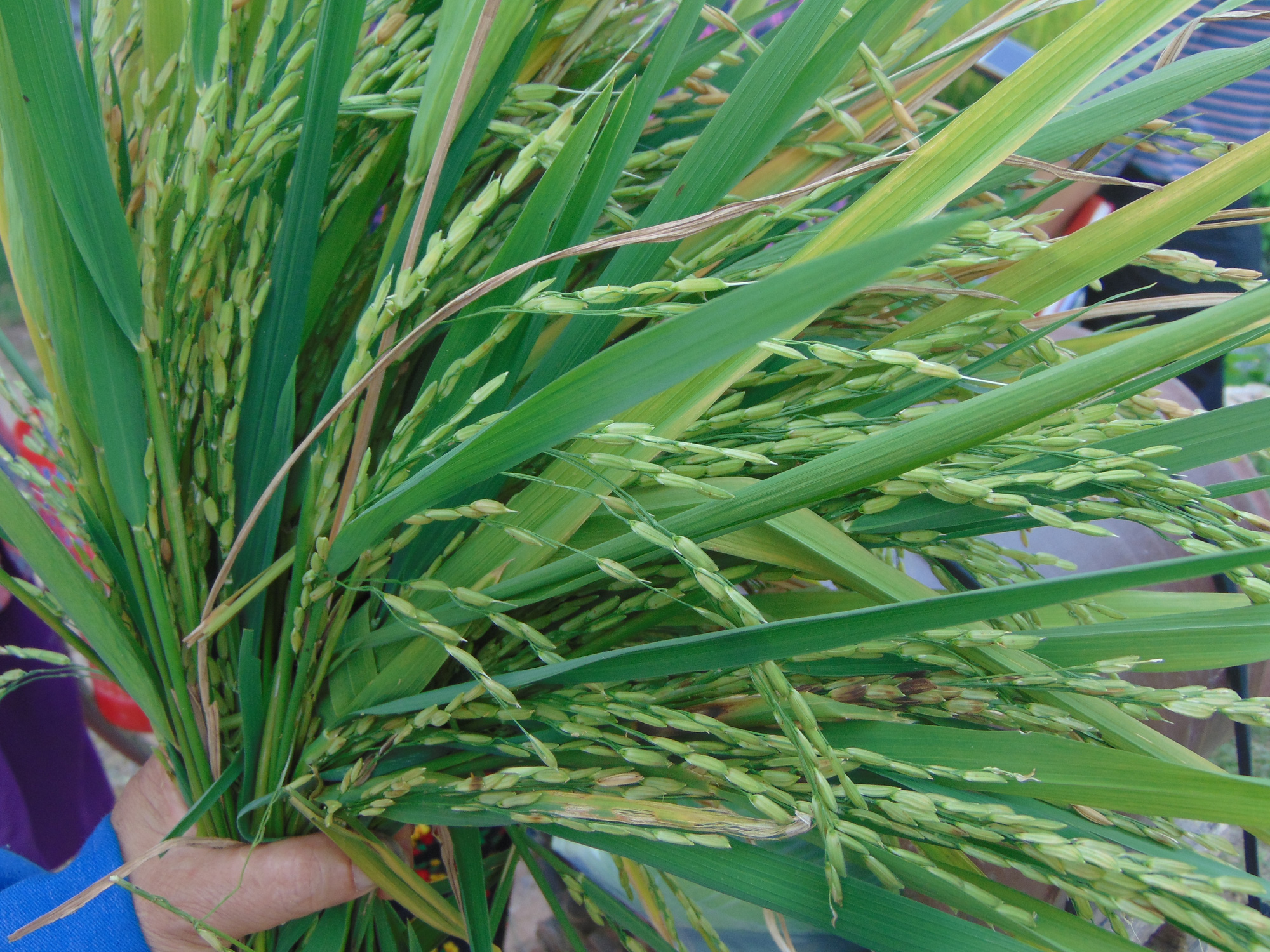 Thái Nguyên: Nhiều hộ dân mất trắng do gieo cấy giống lúa lạ - Ảnh 3.