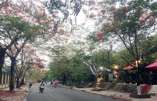 """Cây phượng cao gần 10m ở Sài Gòn bật gốc, người đi đường """"đứng tim"""" - Ảnh 5."""