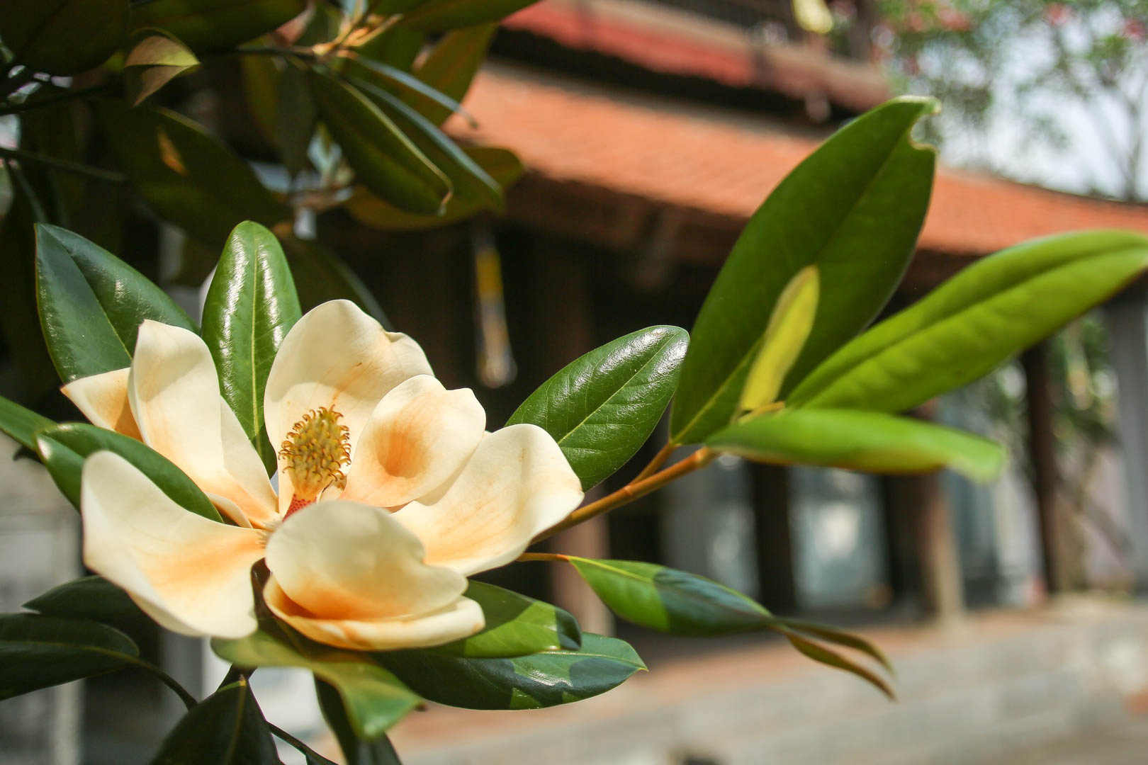 Kỳ lạ đóa sen nằm trên cạn, tỏa hương thơm ngát ngôi chùa trăm năm tuổi - Ảnh 1.