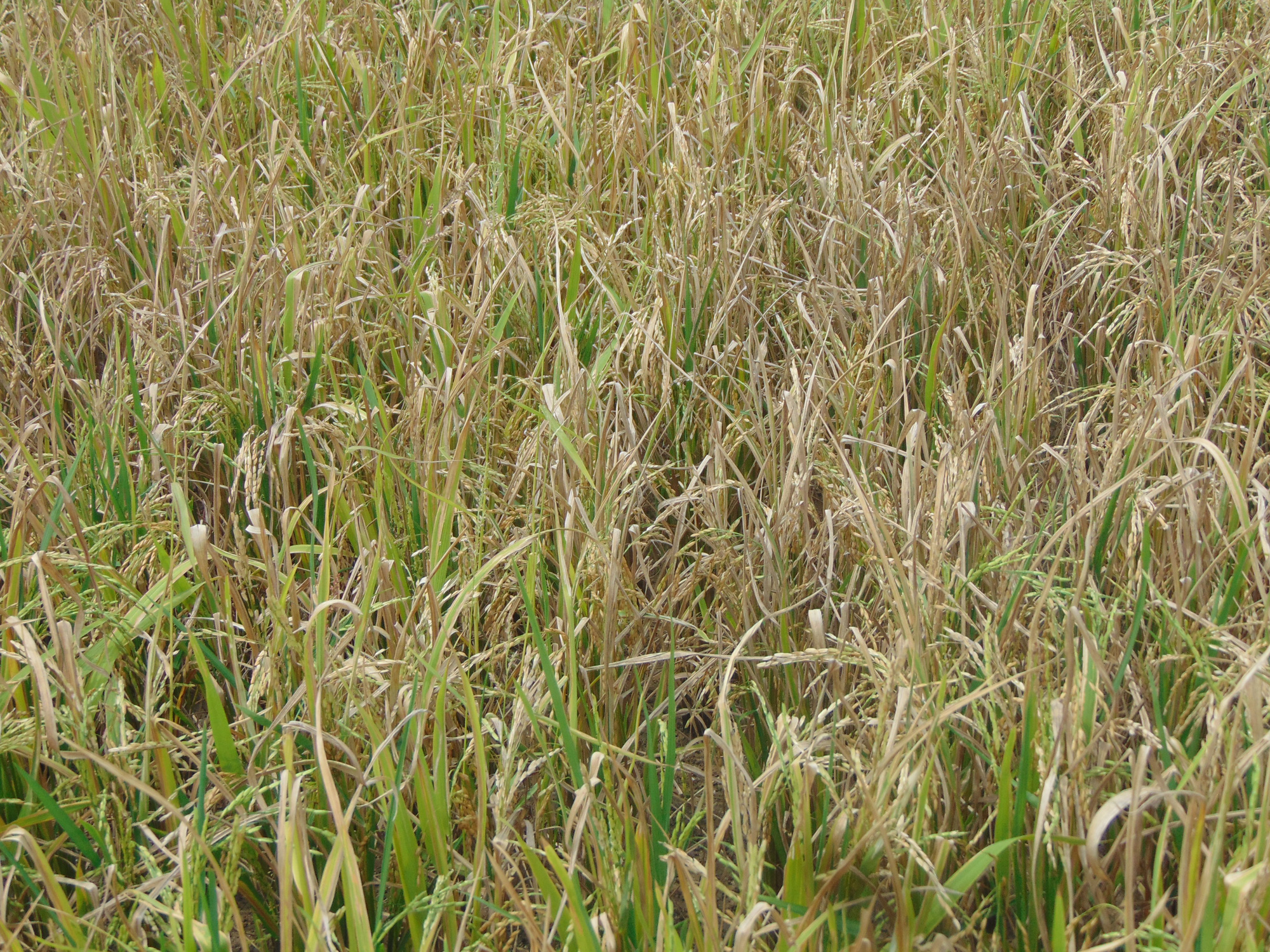Thái Nguyên: Nhiều hộ dân mất trắng do gieo cấy giống lúa lạ - Ảnh 1.
