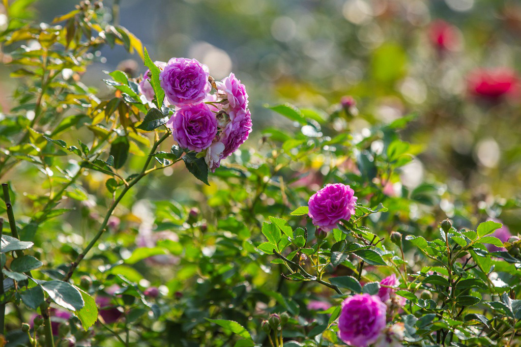 Lạc giữa thung lũng hoa lớn nhất Việt Nam ở Sa Pa - Ảnh 7.
