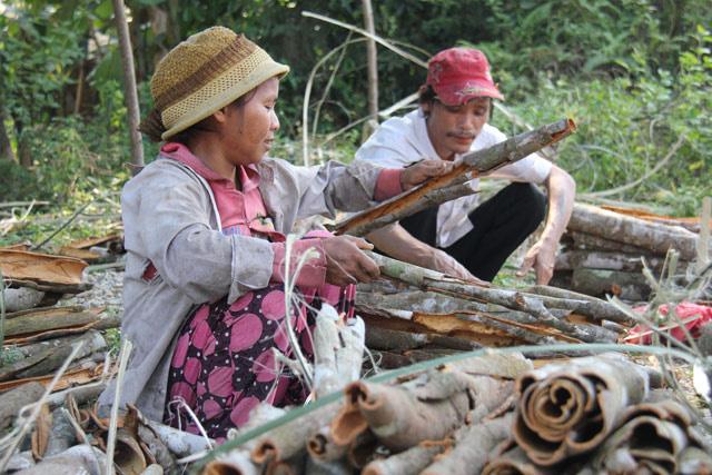 Quảng Ngãi: Huyện có vội khi khai tử dự án vùng chuyên canh quế 500 ha?  - Ảnh 2.