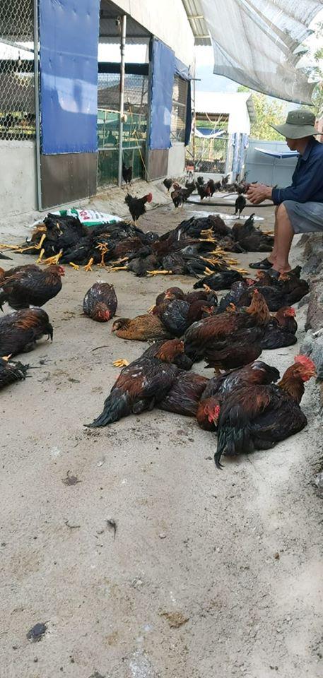 Từ vụ vạn con gà chết vì sốc nhiệt, chuyên gia bày cách cứu gia cầm mùa nóng - Ảnh 2.