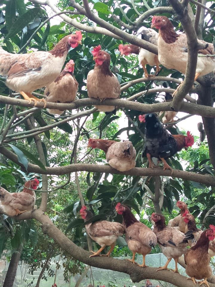 Từ vụ vạn con gà chết vì sốc nhiệt, chuyên gia bày cách cứu gia cầm mùa nóng - Ảnh 4.