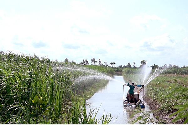 An Giang: Trồng loại cỏ sợ nước, rễ dài 2m để nuôi đàn bò to, chả mấy mà giàu - Ảnh 3.