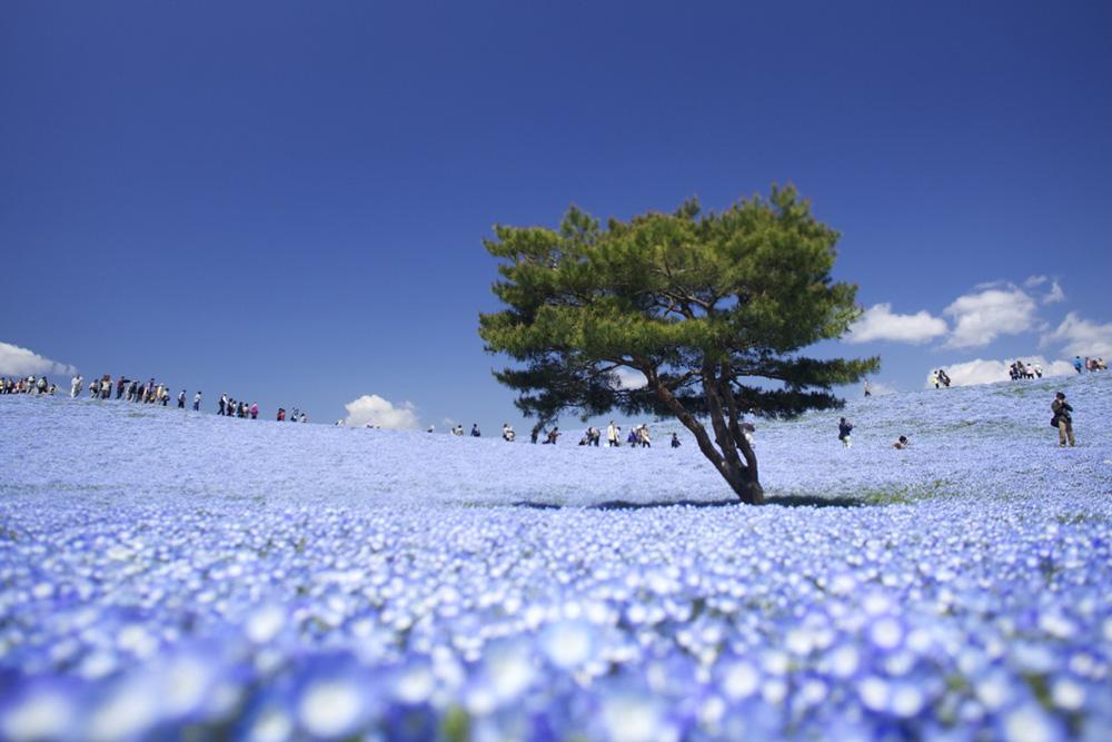 Ít ai biết ở Nhật Bản có một loài hoa đẹp thế này? - Ảnh 1.