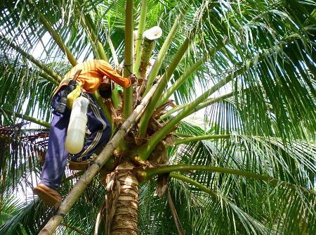 """Làm giàu khác người: Trồng dừa chưa kịp ra trái đã """"hái"""" khối tiền ở Trà Vinh - Ảnh 2."""