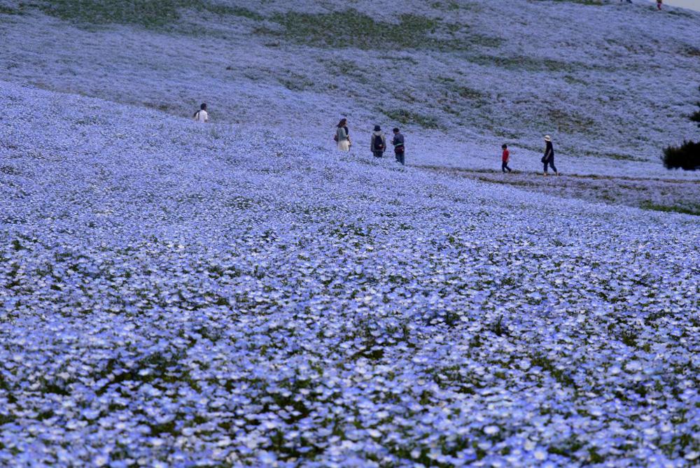 Ít ai biết ở Nhật Bản có một loài hoa đẹp thế này? - Ảnh 2.