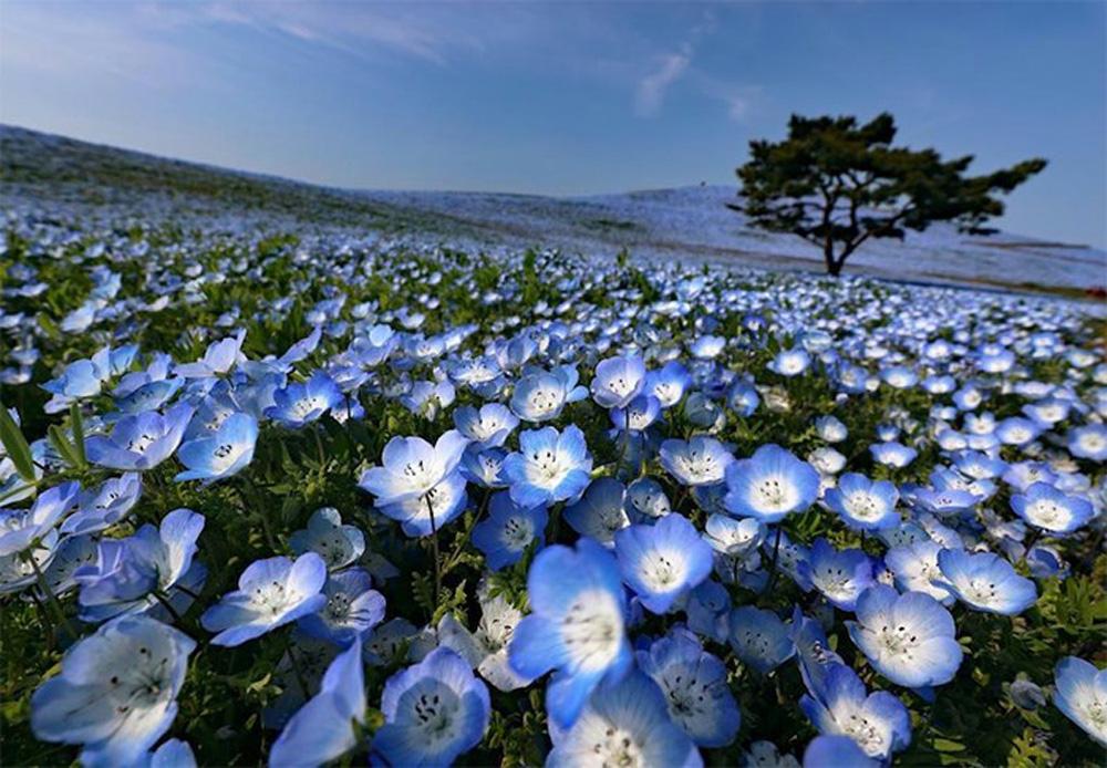 Ít ai biết ở Nhật Bản có một loài hoa đẹp thế này? - Ảnh 3.