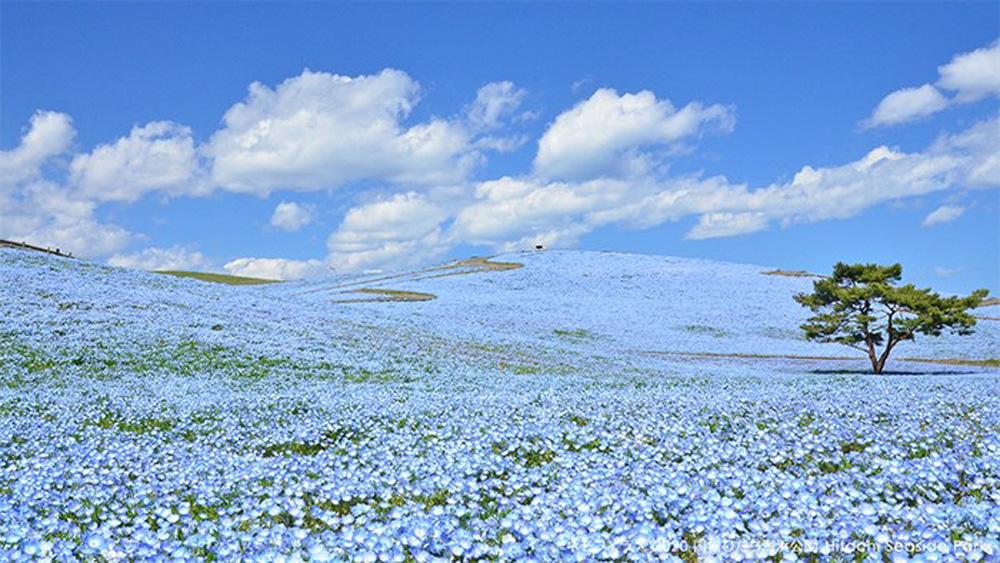 Ít ai biết ở Nhật Bản có một loài hoa đẹp thế này? - Ảnh 4.