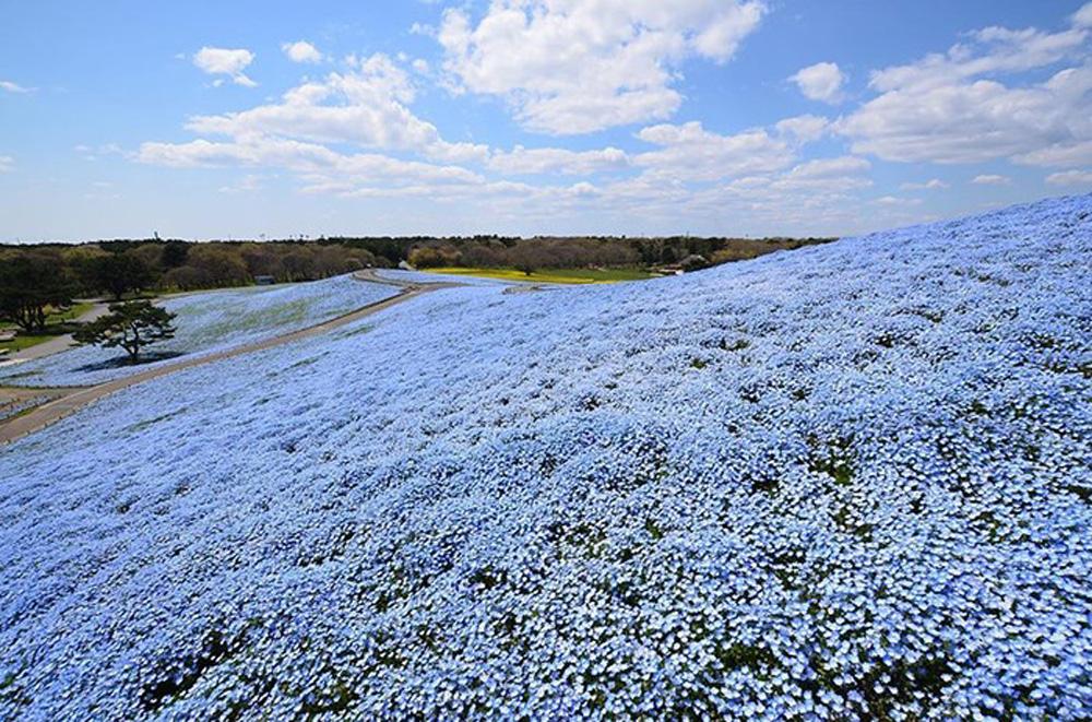 Ít ai biết ở Nhật Bản có một loài hoa đẹp thế này? - Ảnh 5.