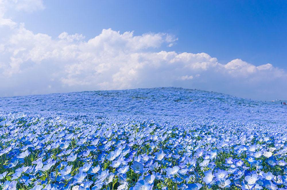 Ít ai biết ở Nhật Bản có một loài hoa đẹp thế này? - Ảnh 7.