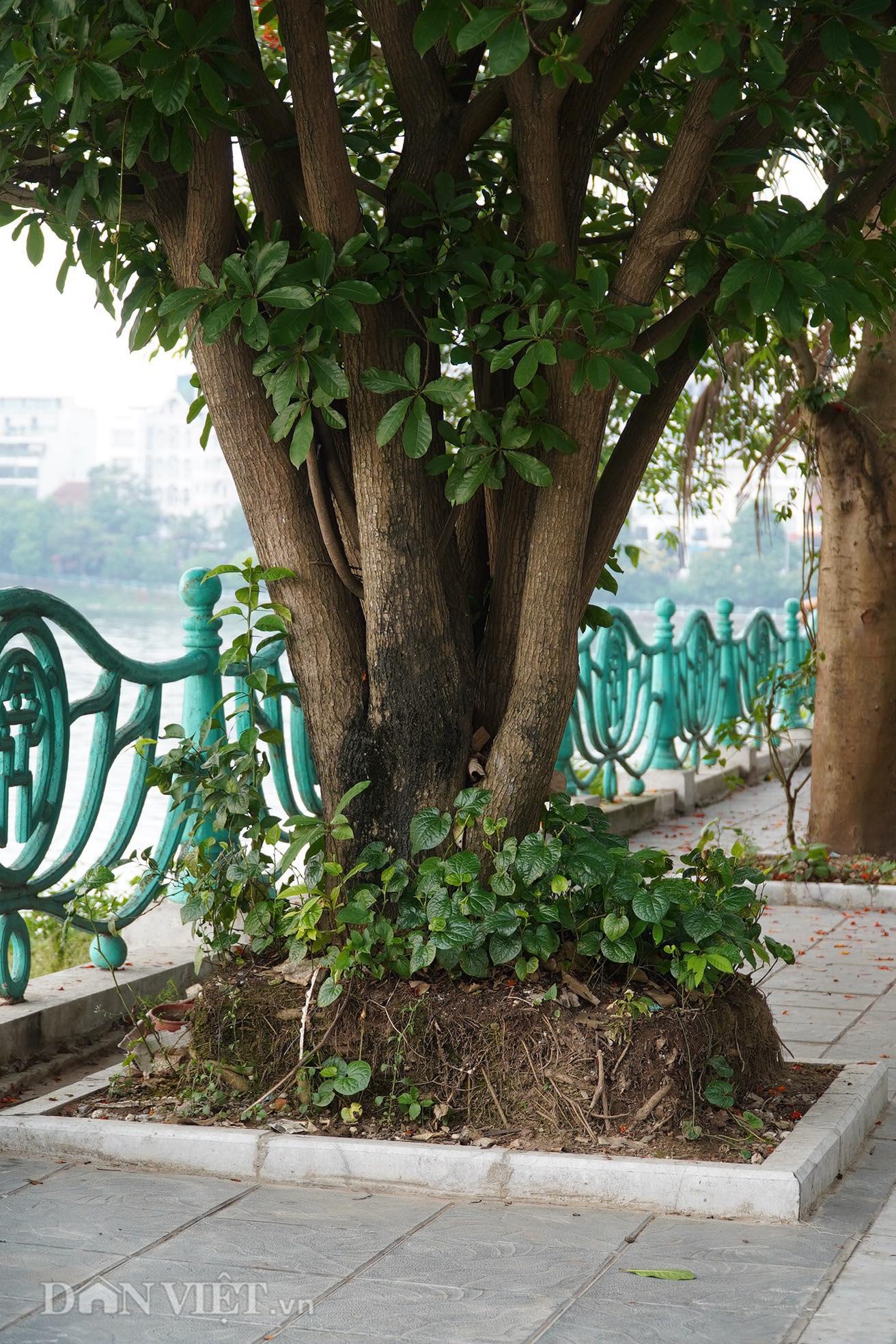 Hiểm hoạ đến từ những cây xanh chết khô trên đường phố Hà Nội - Ảnh 6.