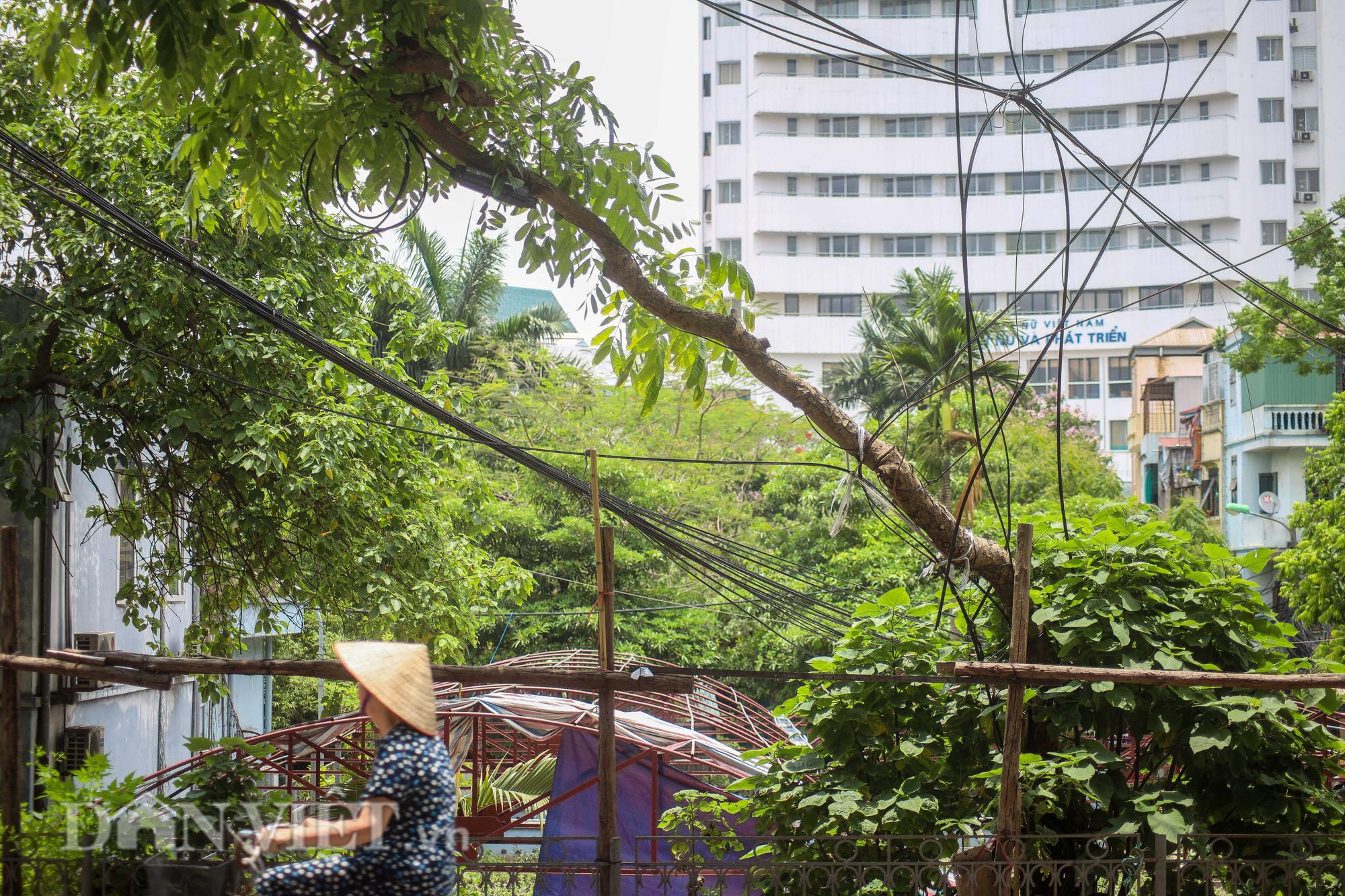 Ẩn hoạ đến từ những cây xanh chết khô trên đường phố Hà Nội - Ảnh 14.