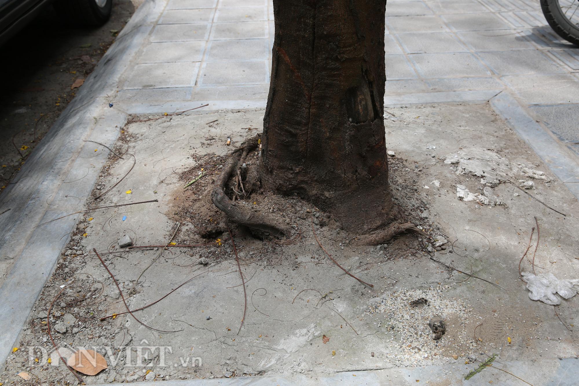 """Thi công cải tạo vỉa hè ẩu, """"bức tử"""" cây xanh tại Hà Nội - Ảnh 3."""