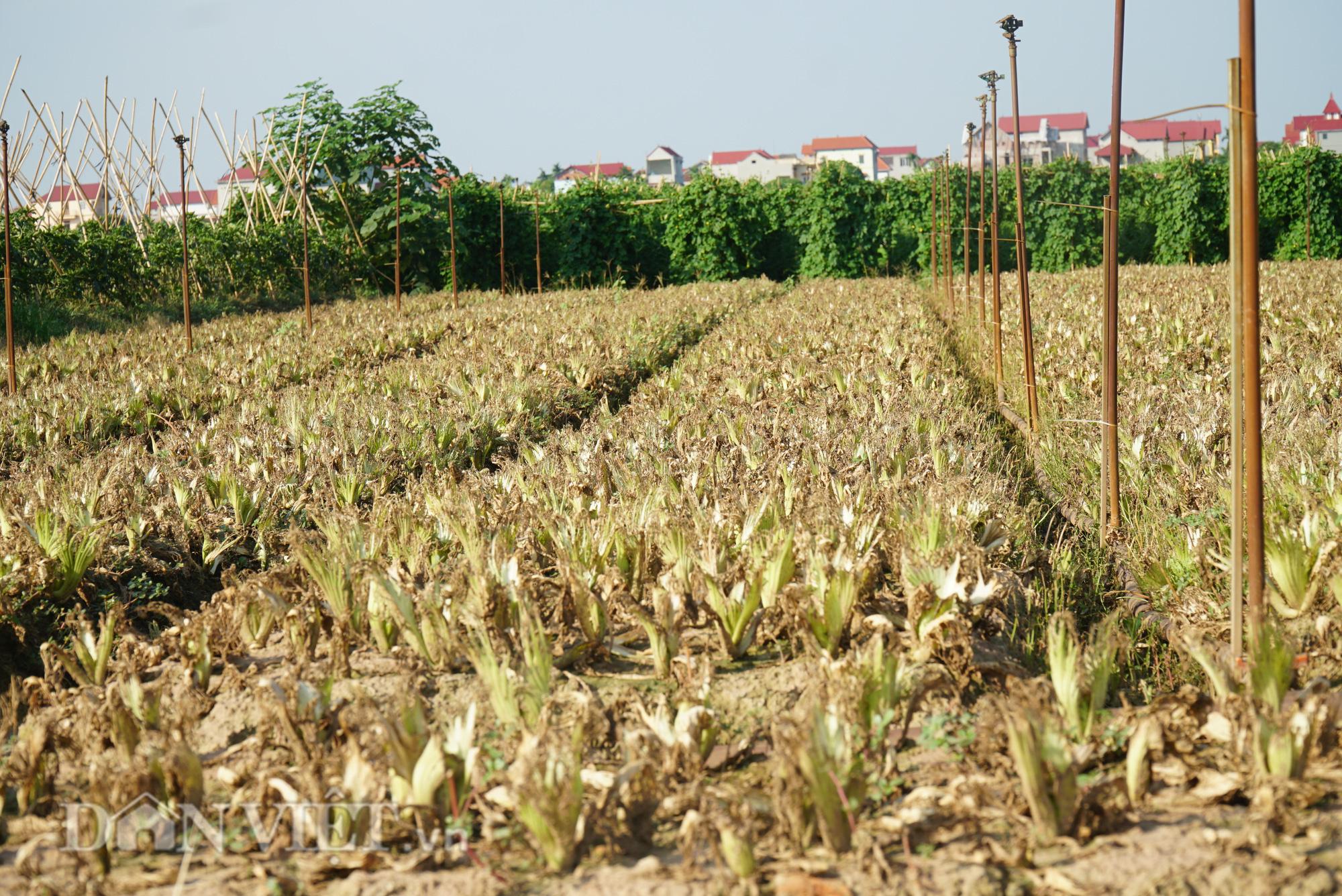 Người trồng rau Mê Linh khóc ròng vì những ruộng rau bạc trắng vì sâu bệnh - Ảnh 2.
