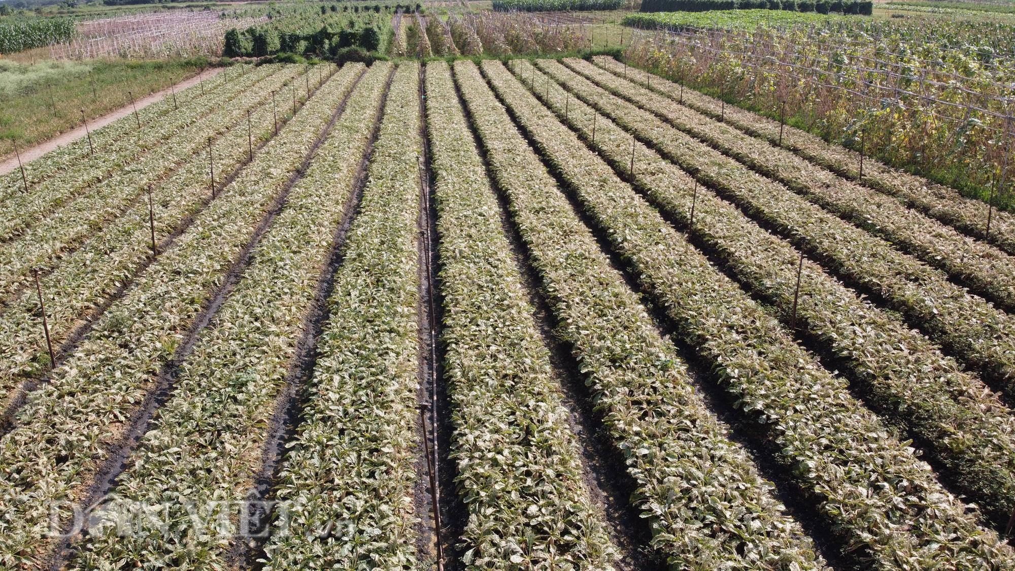 Người trồng rau Mê Linh khóc ròng vì những ruộng rau bạc trắng vì sâu bệnh - Ảnh 4.