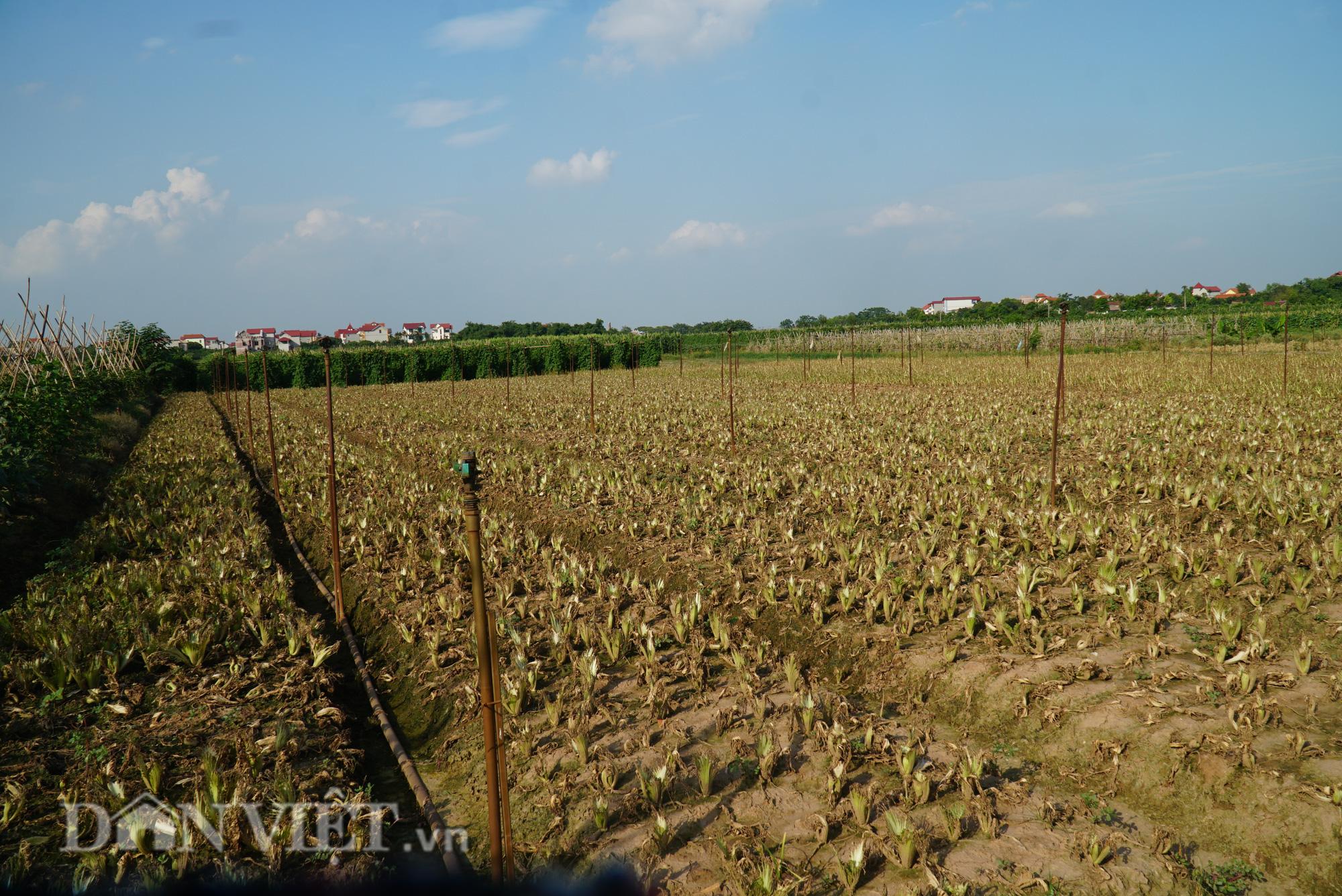 Người trồng rau Mê Linh khóc ròng vì những ruộng rau bạc trắng vì sâu bệnh - Ảnh 6.