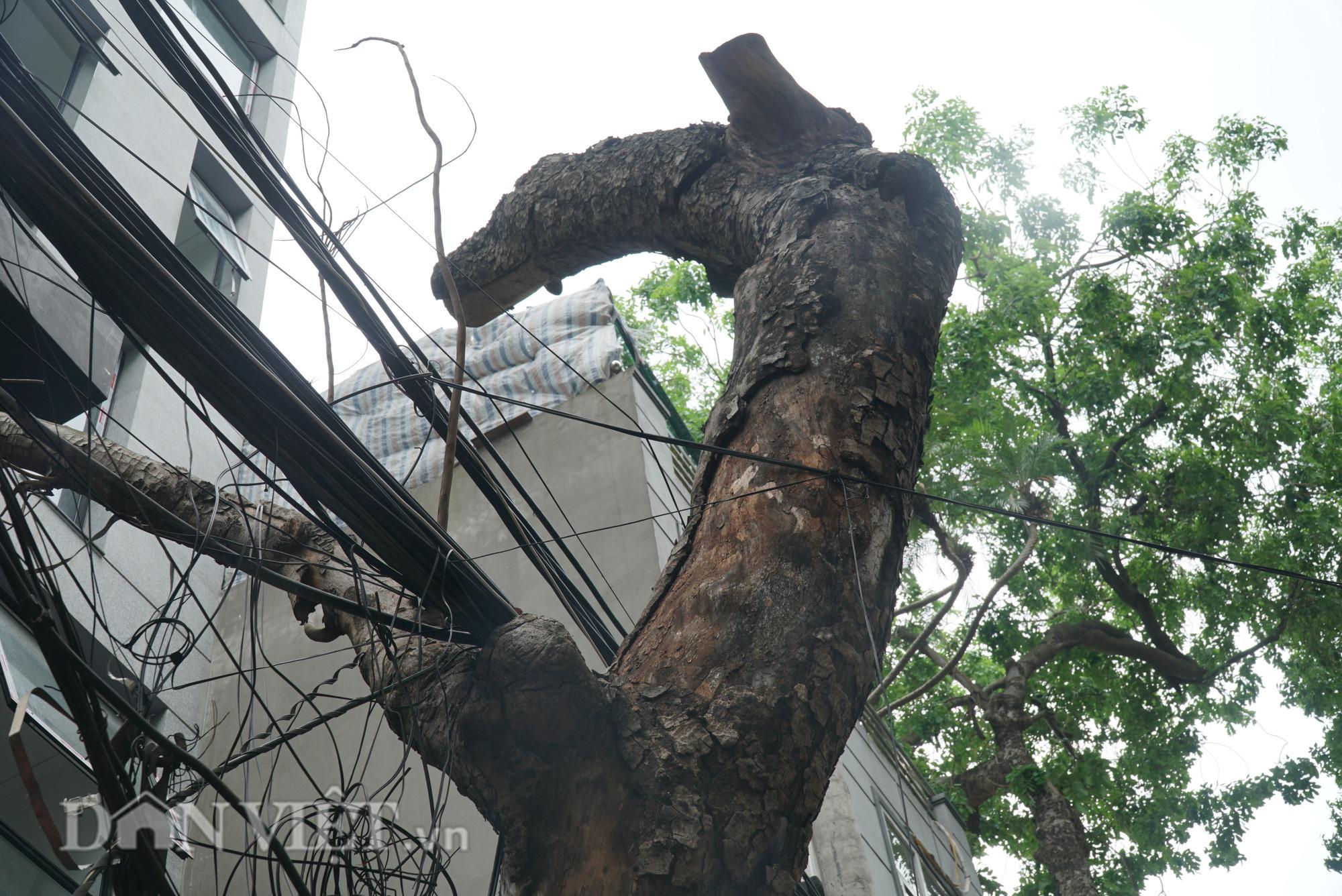 Ẩn hoạ đến từ những cây xanh chết khô trên đường phố Hà Nội - Ảnh 9.