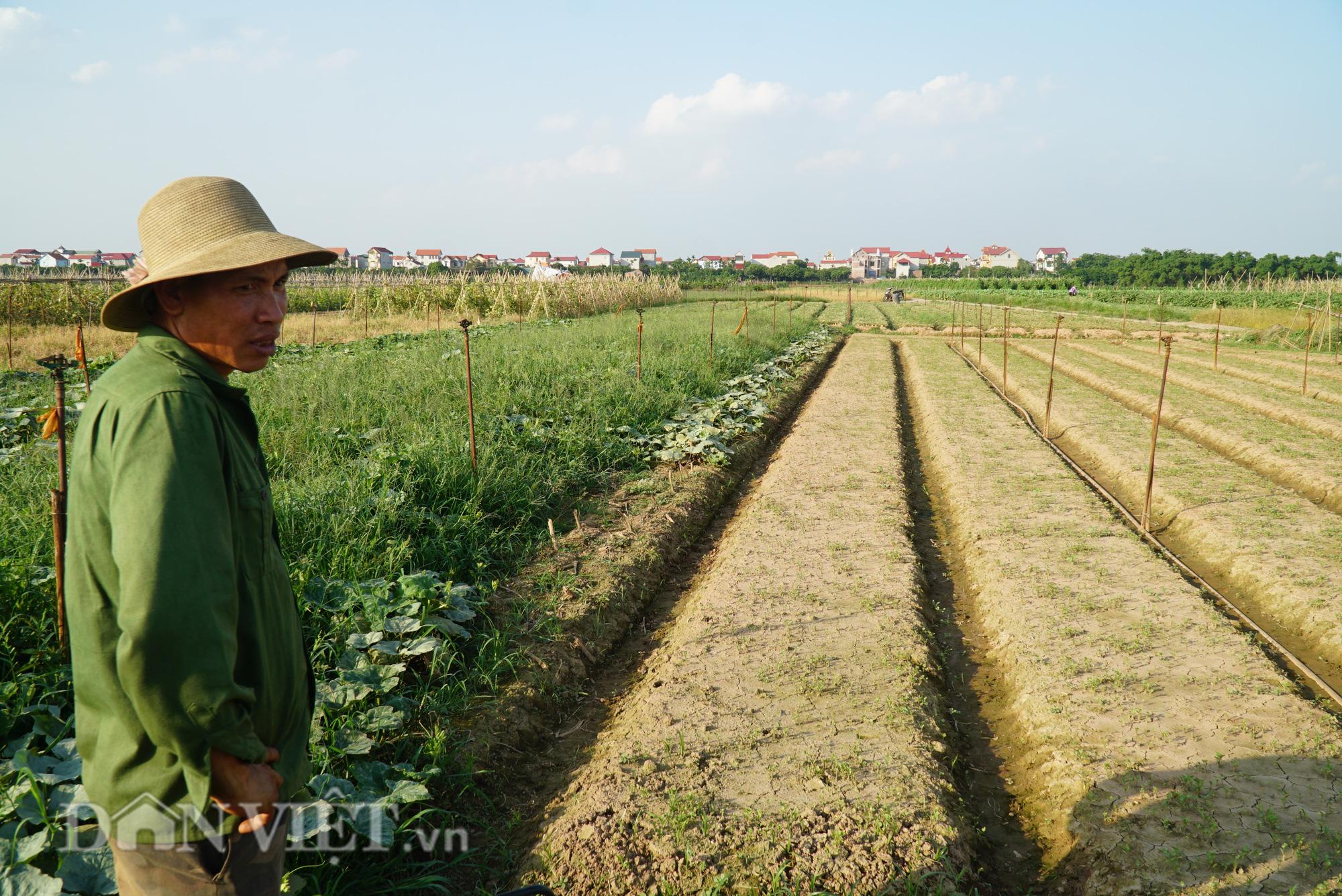 Người trồng rau Mê Linh khóc ròng vì những ruộng rau bạc trắng vì sâu bệnh - Ảnh 9.