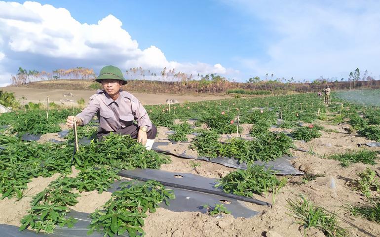 Trồng thứ cây thuốc bổ ra củ quý, dân ở đây gọi là nhân sâm Phú Yên - Ảnh 1.
