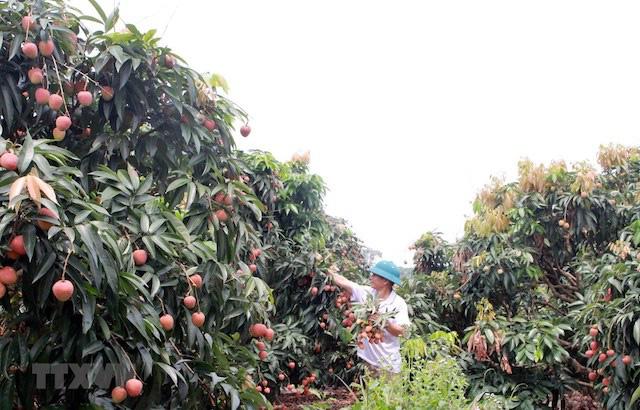 Bắc Giang đẩy mạng tiêu thụ vải thiều ở thị trường trong nước - Ảnh 1.