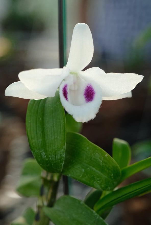 Đã mắt với hơn 100 loại lan đột biến trị giá gần 10 tỷ đồng tại vùng hoa Mê Linh  - Ảnh 7.