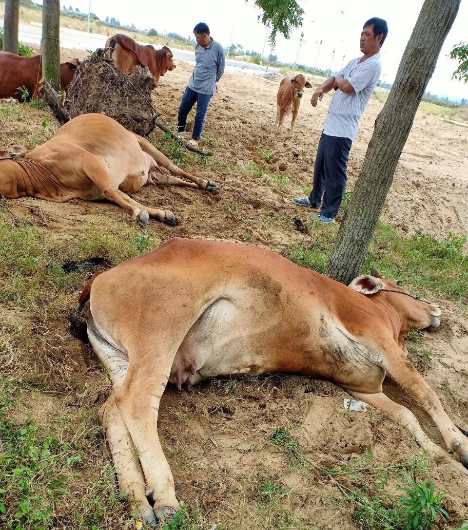 Thanh Hóa: Dân hoang mang, phẫn nộ khi 4 con bò đột nhiên sùi bọt mép lăn ra chết - Ảnh 1.