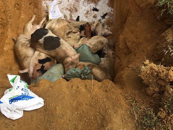 Dịch TLCP ở Quảng Nam: Chỉ còn 25.000 con lợn nái, nguy cơ thiếu hụt lớn - Ảnh 4.