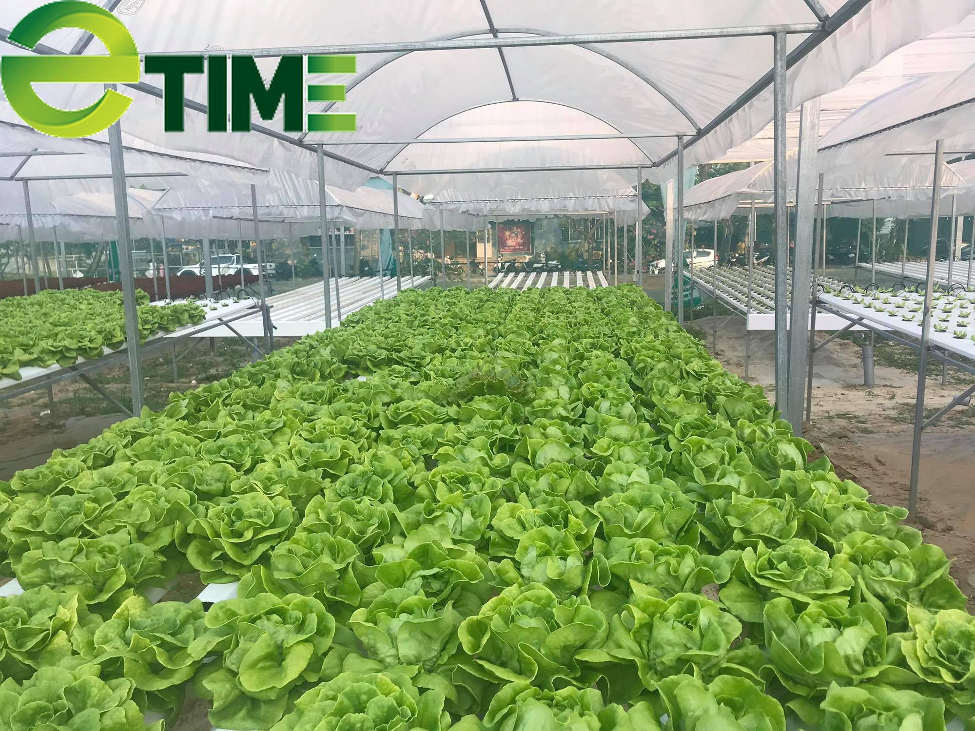 Đà Nẵng: 7X thuê đất để khởi nghiệp từ rau thủy canh, thu 2 triệu đồng/ngày - Ảnh 2.