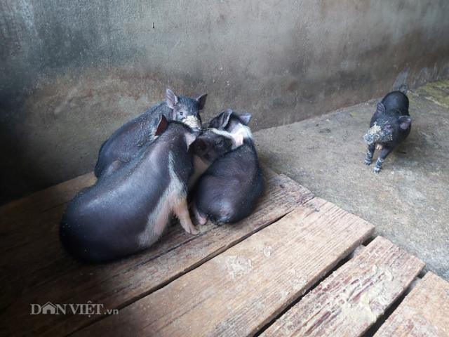 """Giá heo hơi hôm nay 4/5: Dịch tả làm chết 200 con lợn bản, giá lợn lại """"lên đồng"""""""